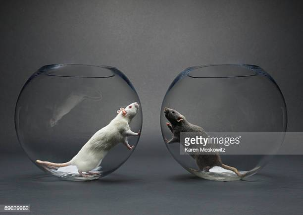 two rats in glass bowls looking at each other - racism stock pictures, royalty-free photos & images