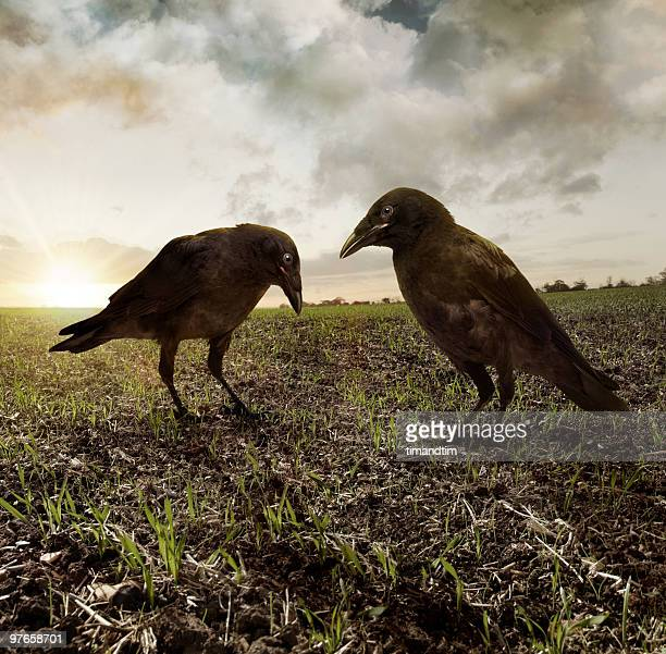 Two ravens in the field