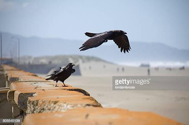 Two ravens taking off/Ocean Beach behind