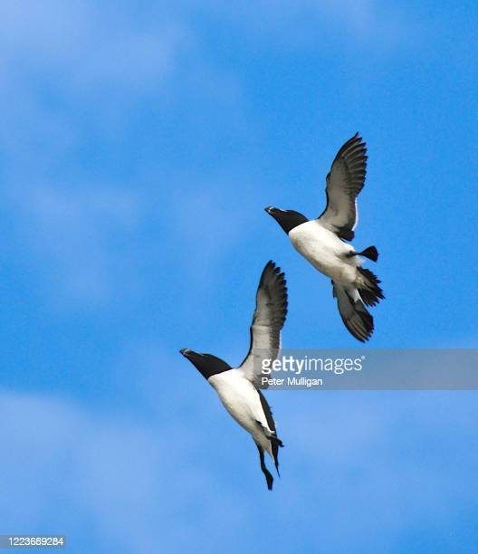 two razorbill birds in flight just prior to landing - legs apart stock pictures, royalty-free photos & images