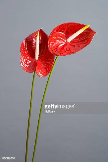 Two Red Anthuriums (Anthurium andreanum)
