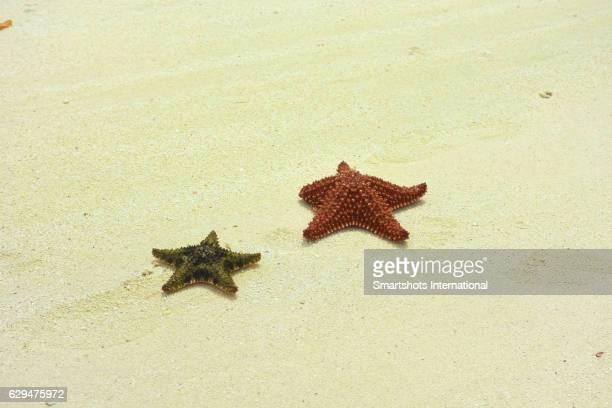 Two red cushion sea stars (Oreaster reticulatus) stranded on white sand beach in Cayo Santa Maria, Cuba