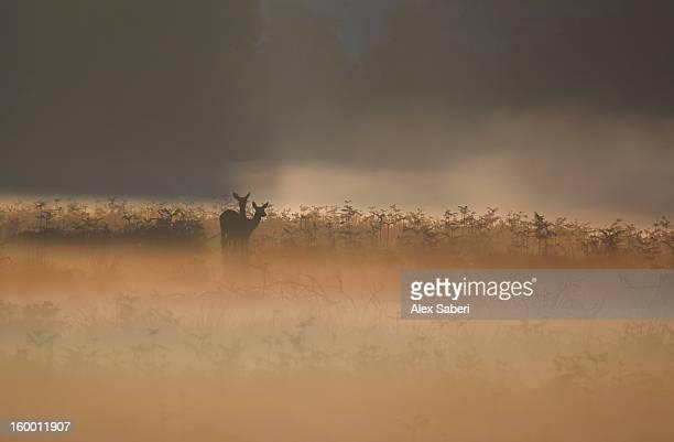 two red deer, cervus elaphus, waiting in the early morning mist. - alex saberi 個照片及圖片檔