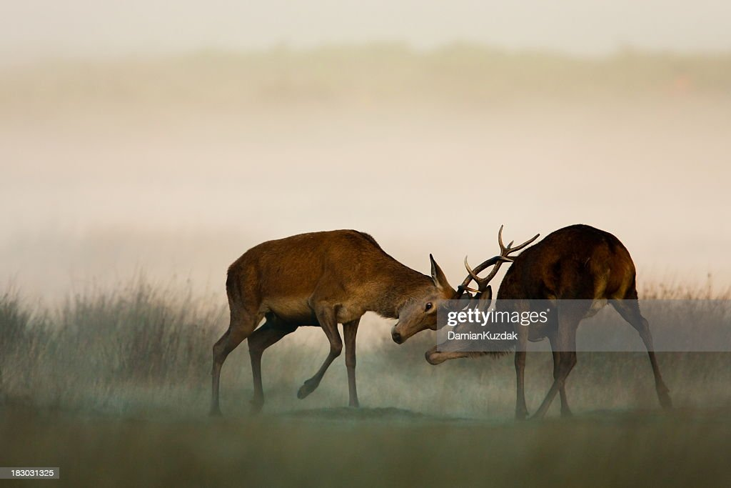 Two red deer fighting in the fog : Stock Photo