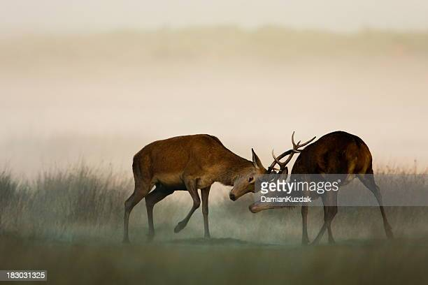 Two red deer fighting in the fog