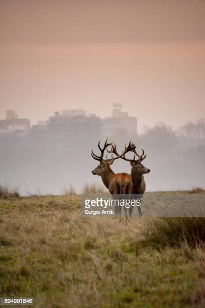 two red deer in richmond park - richmond upon thames stock pictures, royalty-free photos & images