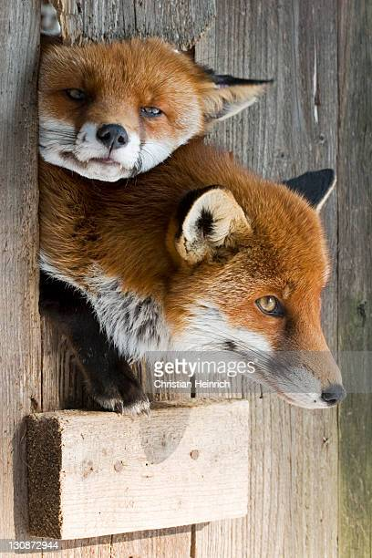 two red (vulpes vulpes) foxes . bavaria, germany - fuchspfote stock-fotos und bilder