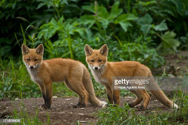 two red foxes (vulpes vulpes) cubs looking at camera, ncneil, alaska, usa - red alert 2 stock pictures, royalty-free photos & images
