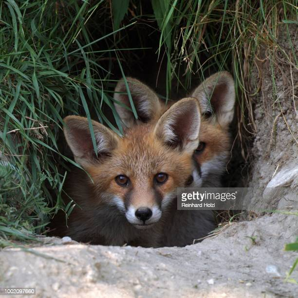 Two Red Foxes (Vulpes vulpes) in a burrow, Thaur, Tyrol, Austria