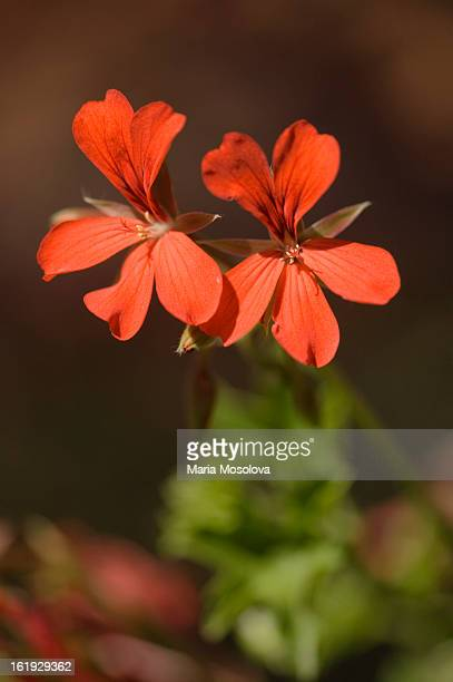 Two Red Geranium Flowers
