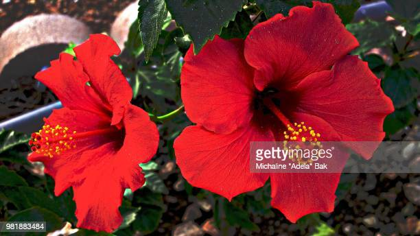Two Red Hibiscus Flowers