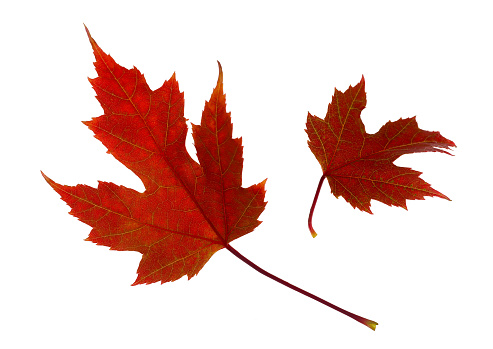 Two red maple leaves floating, on white background - gettyimageskorea