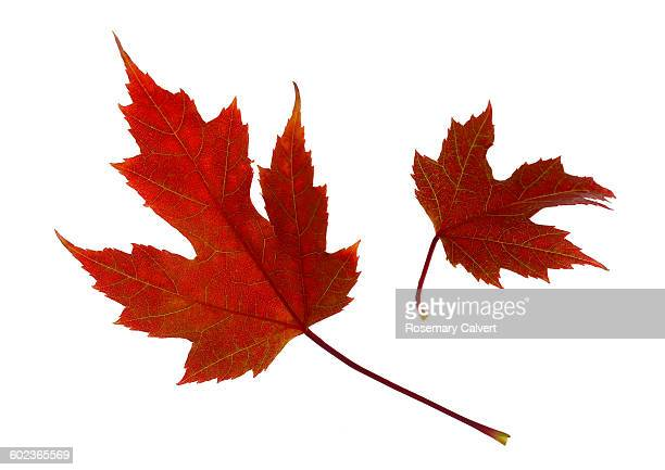 Two red maple leaves floating, on white background