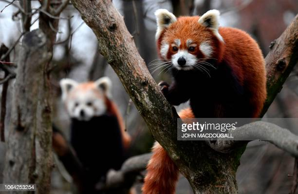 Two Red Pandas climb trees in their enclosure in Berlin's Tierpark zoo on November 22 2018 The red panda native to the eastern Himalayas and...