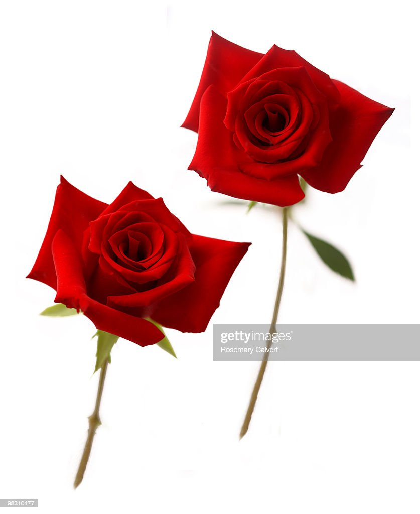 Two red roses on white background getty images two red roses on white background voltagebd Gallery