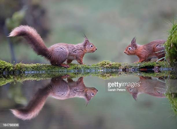 Two Red Squirrels Face to Face