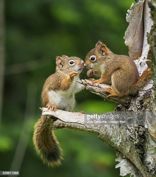 Two Red Squirrels (Sciurus Vulgaris) Playing In A Tree