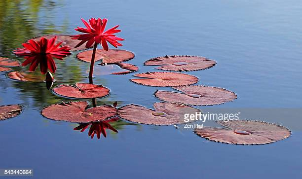 two red water lilies and several red lily pads on blue background - zen rial stock photos and pictures