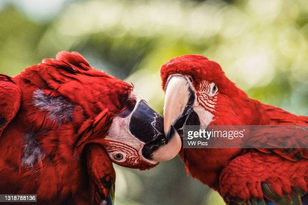 Two Red-and-Green Macaws, Ara chloropterus, also known as the Green-winged Macaw, in the Jurong BIrd Park in Singapore..