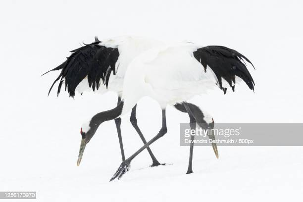 two red-crowned crane (grus japonensis) in winter - japanese crane stock pictures, royalty-free photos & images