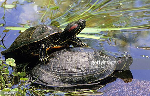 two red-eared turtles or sliders, pseudemys scripta elegans. austin, texas. usa - caenorhabditis elegans stock pictures, royalty-free photos & images