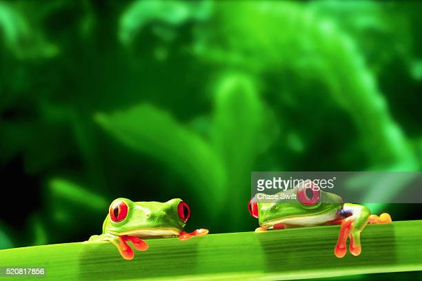 two red-eyed tree frogs - frog stock pictures, royalty-free photos & images