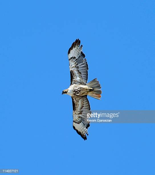 Two Redtailed Hawks chase a Black Crow from their nest during a handing off ceremony of the first of six C17 Globemaster III airlifters built for the...