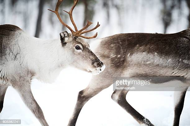 Two Reindeer, Lapland, Finland