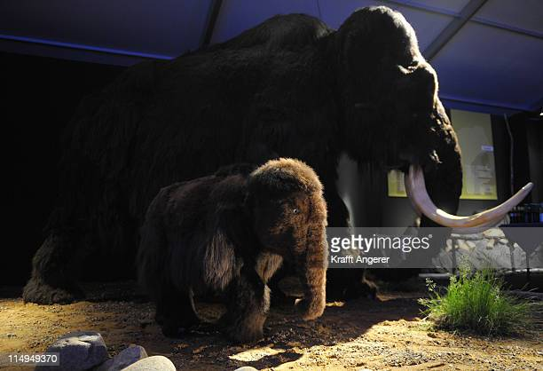 Two replicas of mammoths are seen during the Giganten Der Eizeit exhibition opening on May 31 2011 in St PeterOrding Germany Europes biggest ice age...