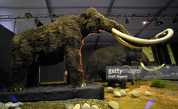 Two replicas of mammoths are seen during the 'Giganten Der Eizeit' exhibition opening on May 31 2011 in St PeterOrding Germany Europes biggest ice...