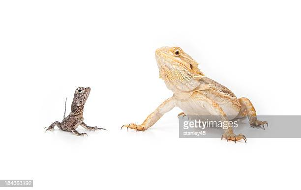 two reptiles, sitting together - bearded dragon stock pictures, royalty-free photos & images