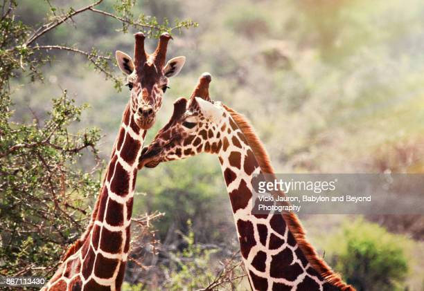 Two Reticulated Giraffes in Sunlight