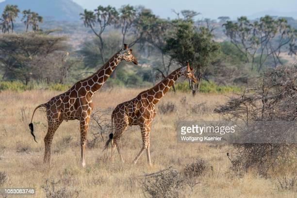 Two Reticulated giraffes in the Samburu National Reserve in Kenya