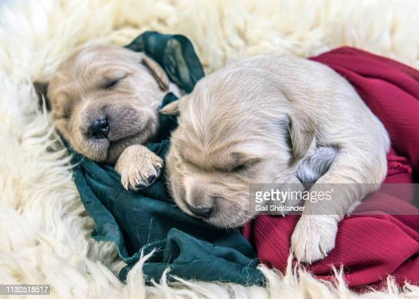 Two Retriever Puppies Swaddled