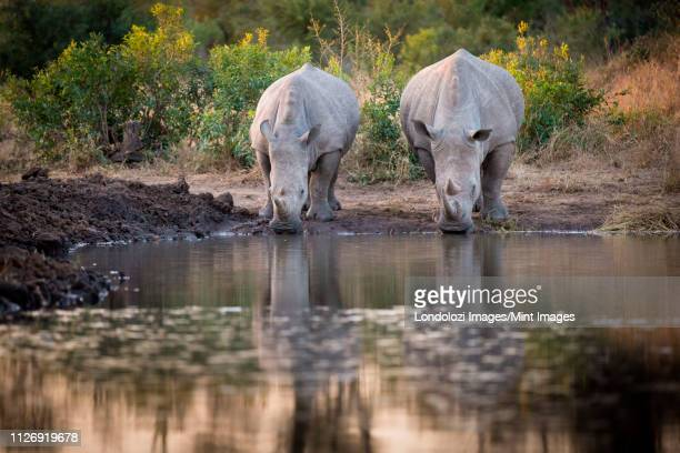 two rhinos, ceratotherium simum, drink from a waterhole, looking away, reflections in water. - waterhole stock pictures, royalty-free photos & images