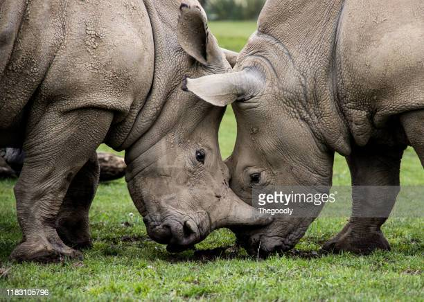 two rhinos fighting, england, united kingdom - wildlife reserve stock pictures, royalty-free photos & images