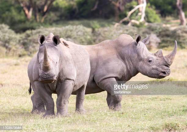 foto di repertorio di due rinoceronti - sud foto e immagini stock