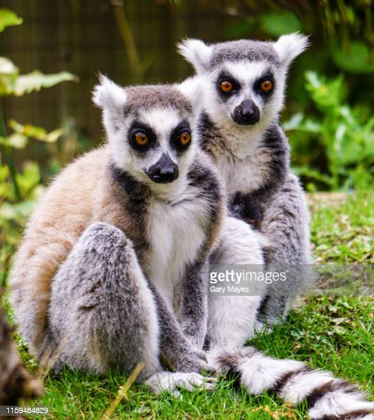 two ring tail lemurs sitting - primate stock pictures, royalty-free photos & images