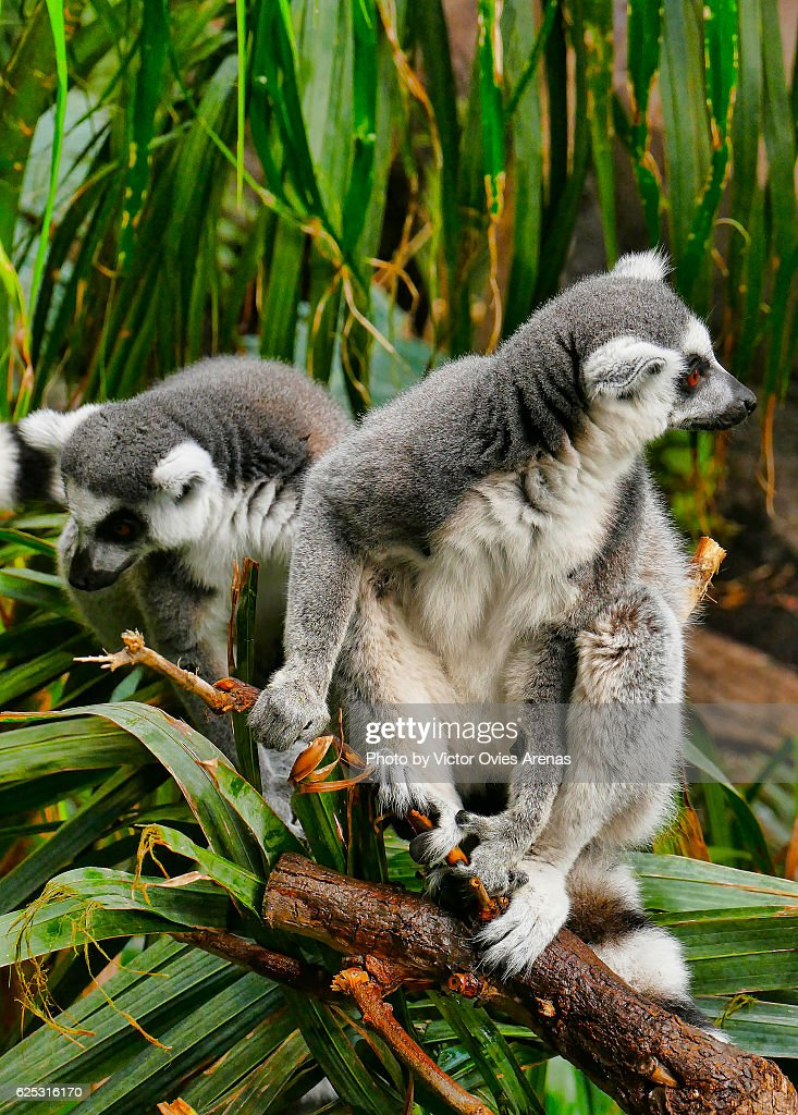 Two ring-tailed lemur, endemic to the island of Madagascar, on a palm tree : Foto de stock