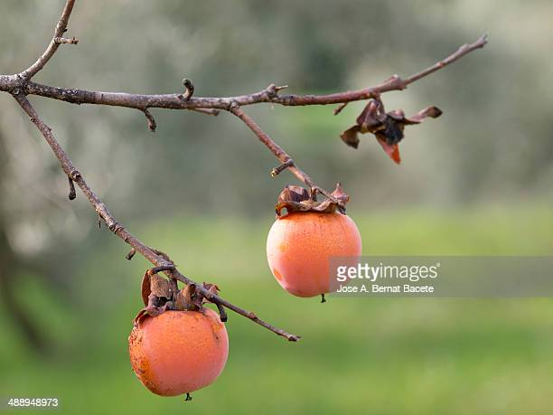 Two ripe persimmons on the tree branch