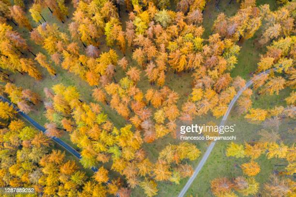 two road in different direction in the forest of larches in autumn, aerial view. - italia stockfoto's en -beelden