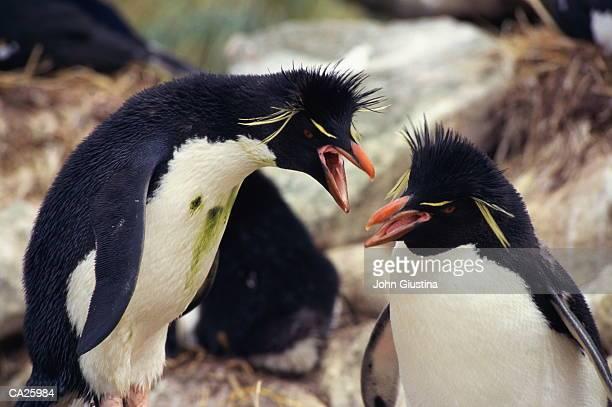 Two Rockhopper Penguins (Eudyptes chrysocome), close-up