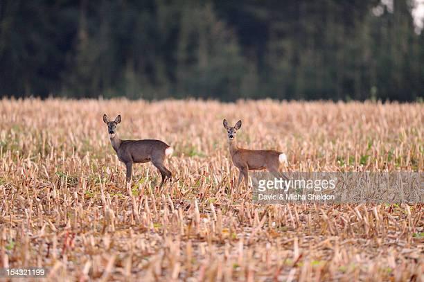 Two roe deer standing in cornfield