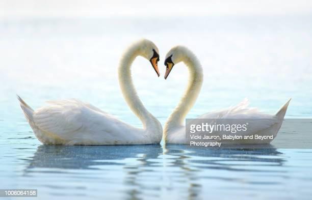 Two Romantic Swans Making a Heart at Babylon Long Island