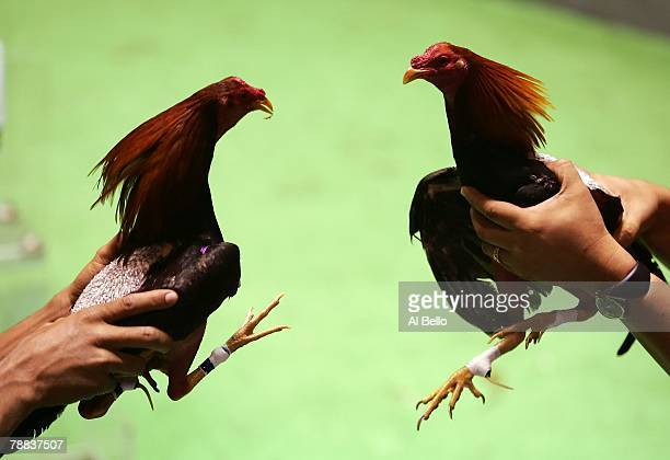 Two roosters are introduced to eachother prior to their battle during Cockfighting night at Club Gallistico of Isla Verde on March 11 2006 in San...