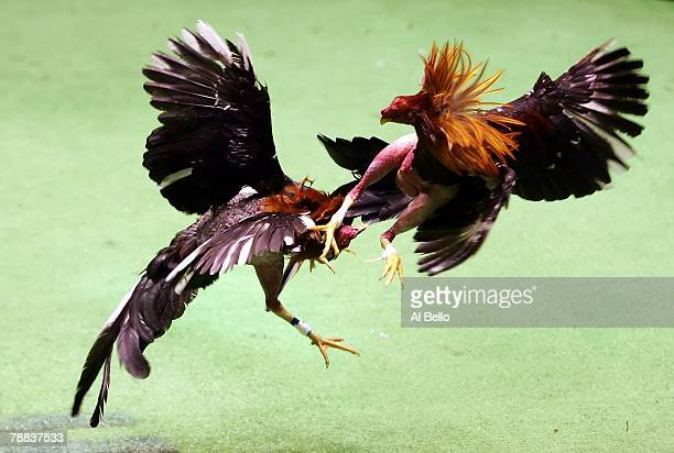 Two roosters battle during Cockfighting night at Club Gallistico of Isla Verde on March 11 2006 in San Juan Puerto Rico Cockfighting or peleas de...