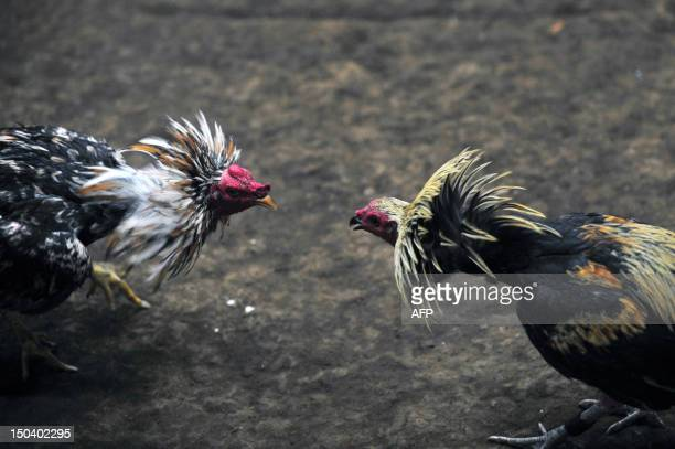 Two roosters begin to fight during a cockfight in Managua on August 12 2012 Bloody cockfighting with spurs a tradition inherited from Spain makes...
