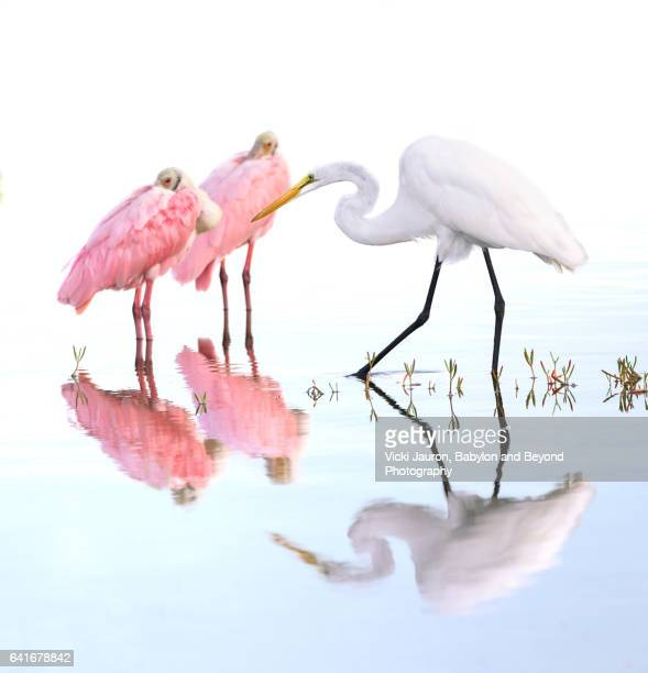 Two Roseate Spoonbill (Platalea ajaja) and A Great Egret with Reflections