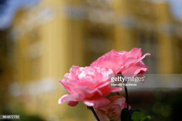 Two roses in front of a yellow building