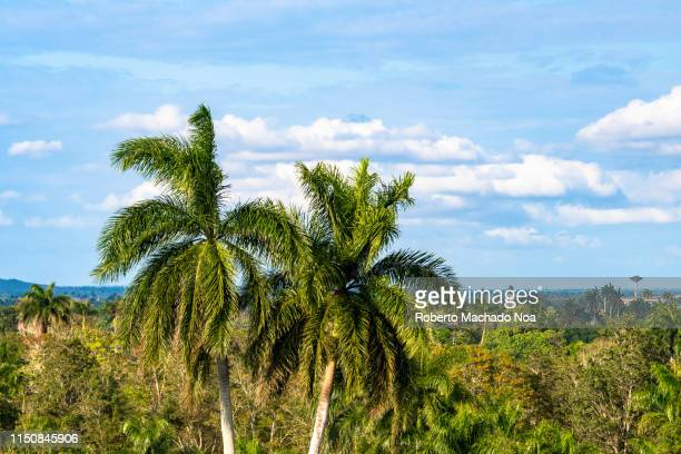 two royal palm trees, cuban national tree symbol - santa clara cuba stock pictures, royalty-free photos & images
